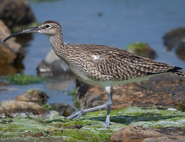 Whimbrel at Langness by Peter Christian