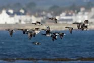 Brent geese by Peter Christian