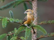Crossbill by Peter Christian