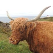 Highland cow, by Louise Samson