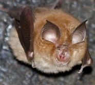 Lesser horsehoe bat by Gareth Jones